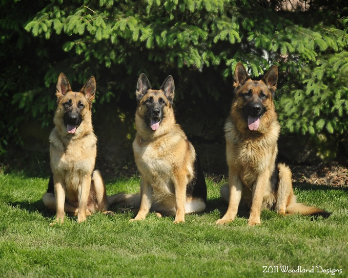 AKC Registered German Shepherd Puppies for Sale! | Breeding